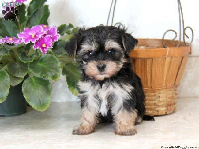 Morkie Puppies For Sale In Utah Zoe Fans Blog Morkie Puppies For Sale Puppies Morkie Puppies