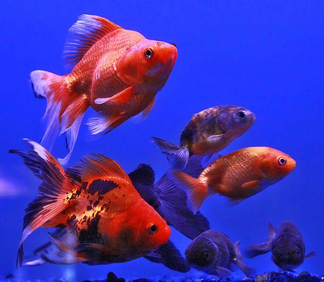 Flying Fish Fish Fish Pet Goldfish