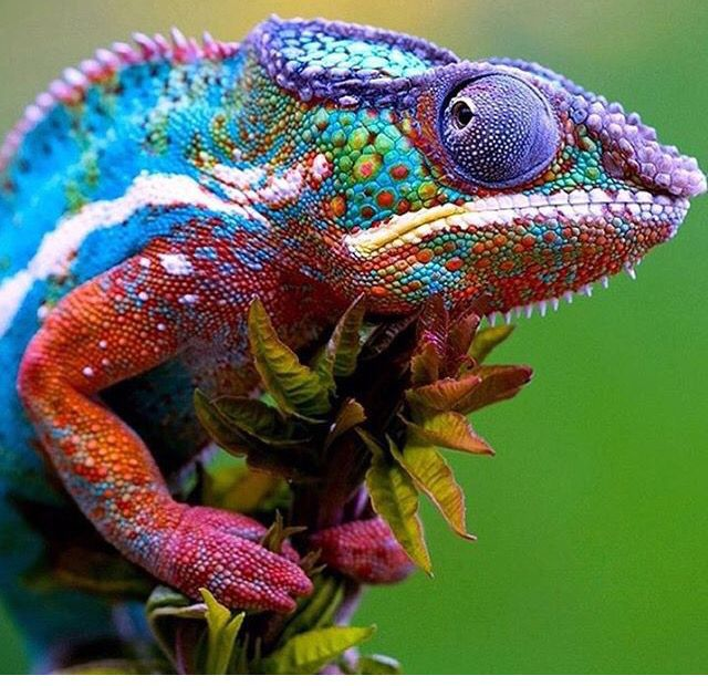 Amazing Colorful Chamilions: Amphibians, Reptiles And