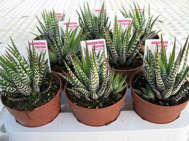Cactus serrano cactus y suculentas cactaceas for Cactaceas y suculentas