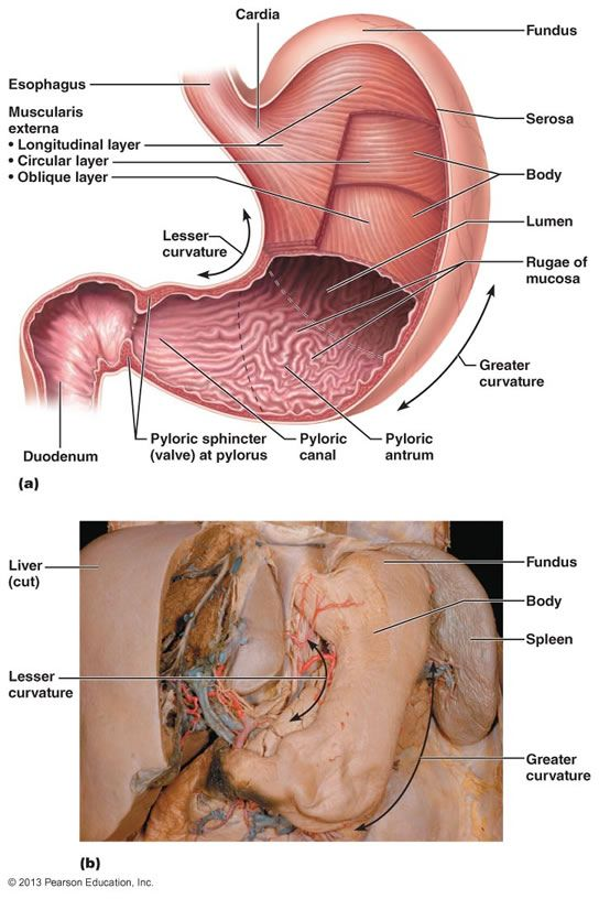The Digestive System | Anatomy & Physiology II | Pinterest ...