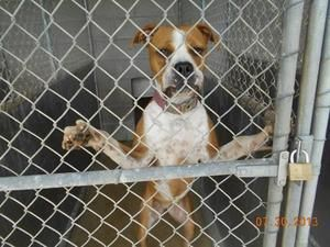 Adopt Kennel 04 On Petfinder Boxer Dogs Dog Adoption Dog Lovers