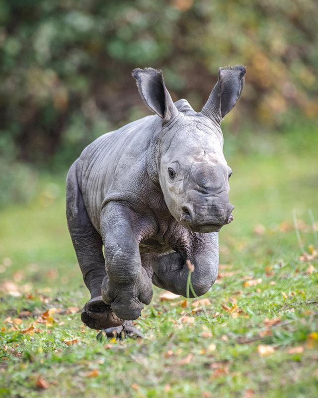 """West Midland Safari Park on Instagram: """"Our gorgeous rhino calf is full of energy � Happy Friday! • • •…"""""""