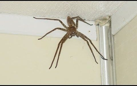 796019a9a World's Biggest Spider: Giant Huntsman Spider | haha | Giant ...