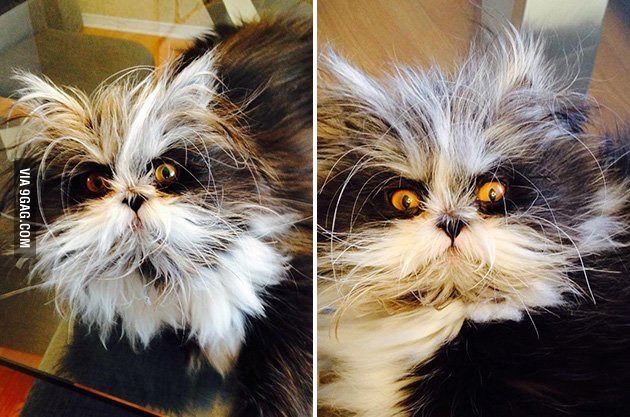 """Картинки по запросу """"кот похожий на енота"""""""