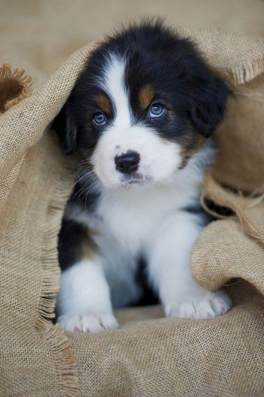 Adorable Chiot Animaux