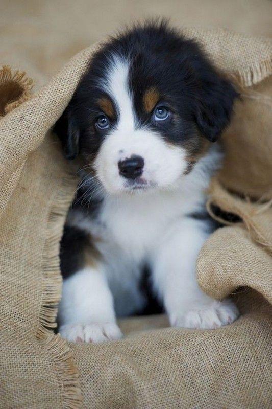 Adorable chiot chiots chien mignon chien et chiot berger australien - Image bebe chien ...