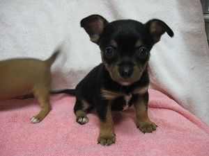 Chi Puppies Is An Adoptable Chihuahua Dog In Yuba City Ca This