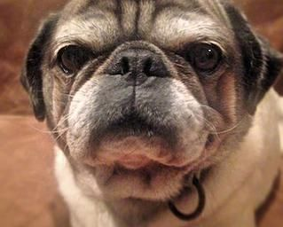 Rex Pug Rescue Of Austin Adopt A Pug Pug Rescue Pugs For