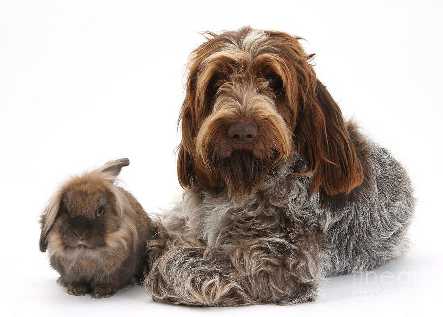 Brown Roan Italian Spinone Dog Italian Spinone Dogs Pets