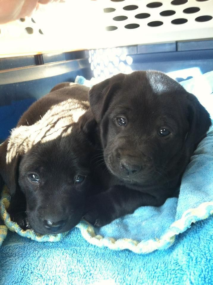Brightening The Day Cute Animals Lab Puppies Puppies And Kitties