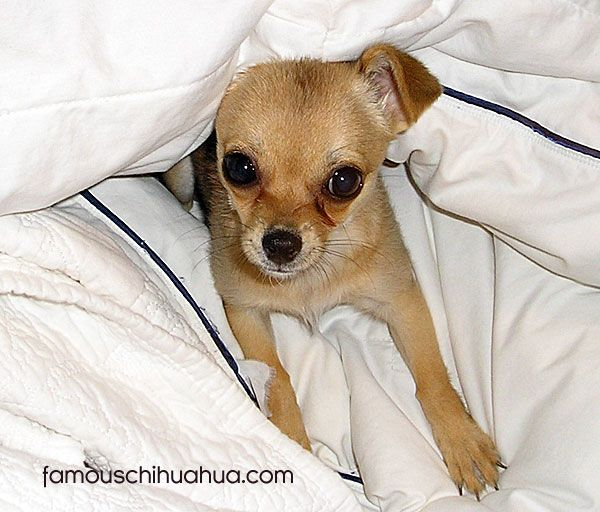 Chihuahua Puppy Under Sheets Chihuahua Puppies Chihuahua Lover