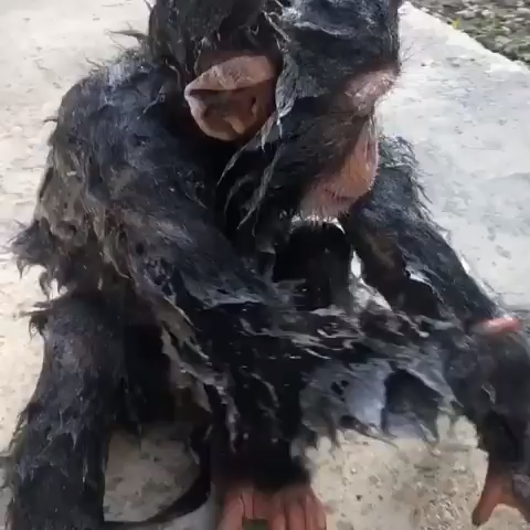 Monkey having bath