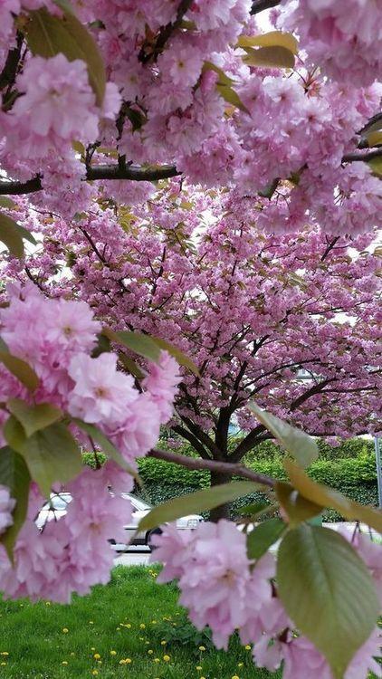 Tumblr Flowering Trees Cherry Blossom Tree Spring Scene