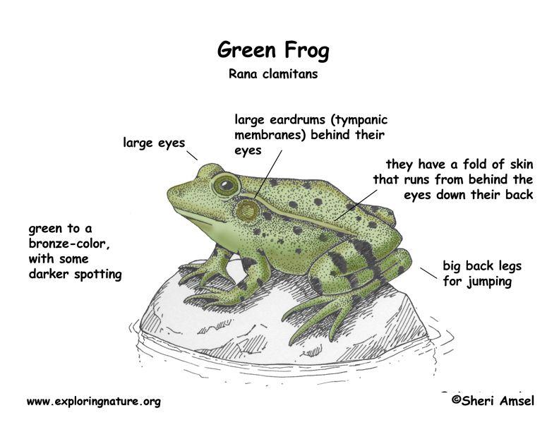 Keira Knightley Frog Glass Frog Green Frog
