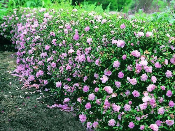 Camellia Sasanqua Camellia Camellia Sasanqua Paradise Petite Flower Garden Plants Camellia Plant Garden Hedges