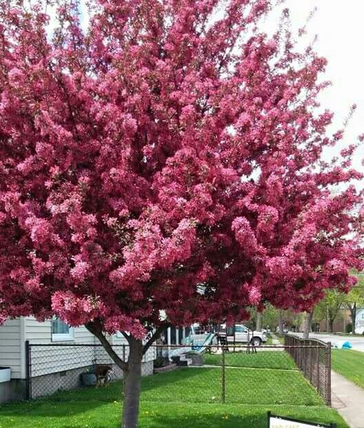Profusion  crabapple  tree