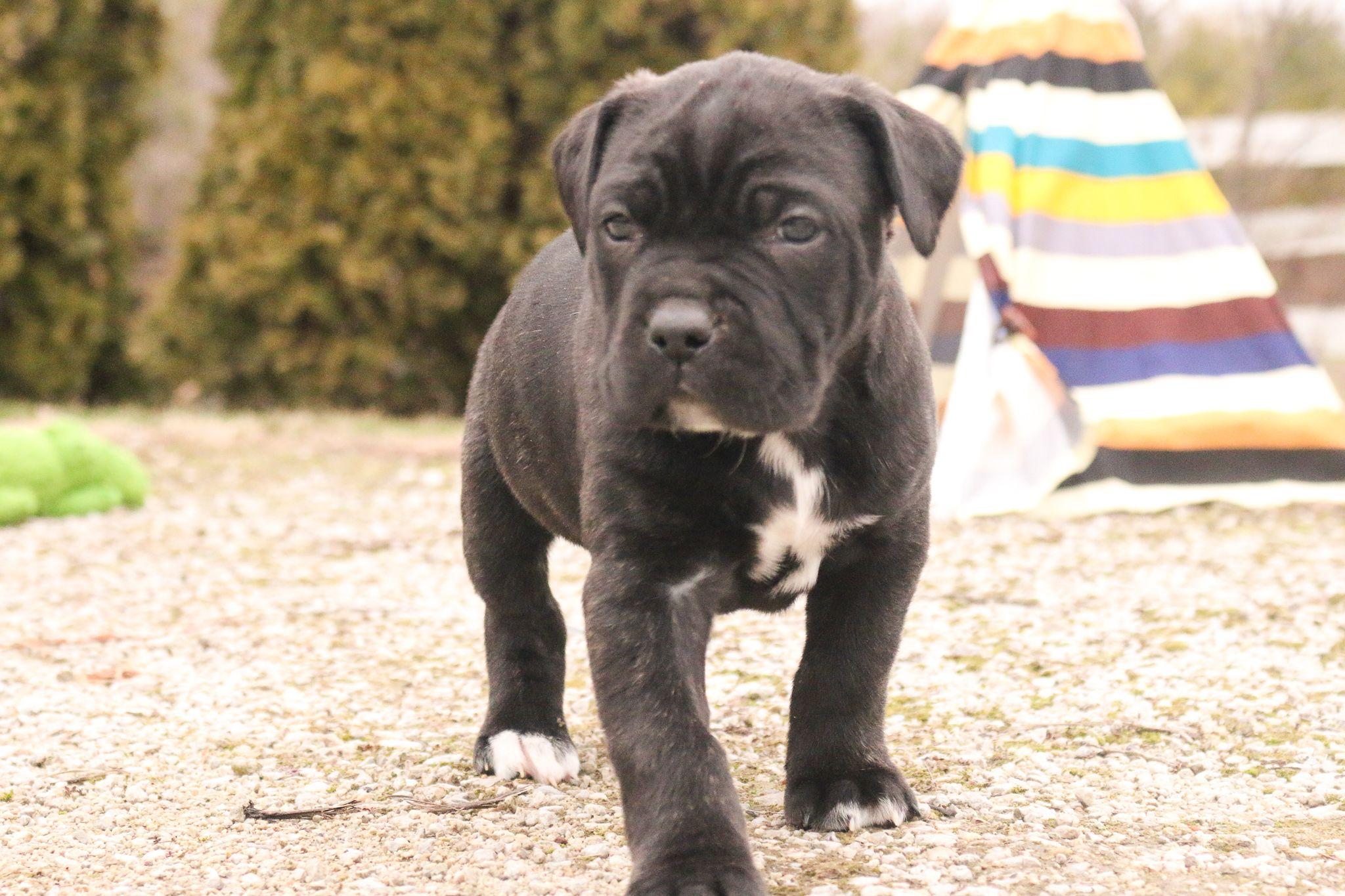 Pin On Cane Corso Puppies