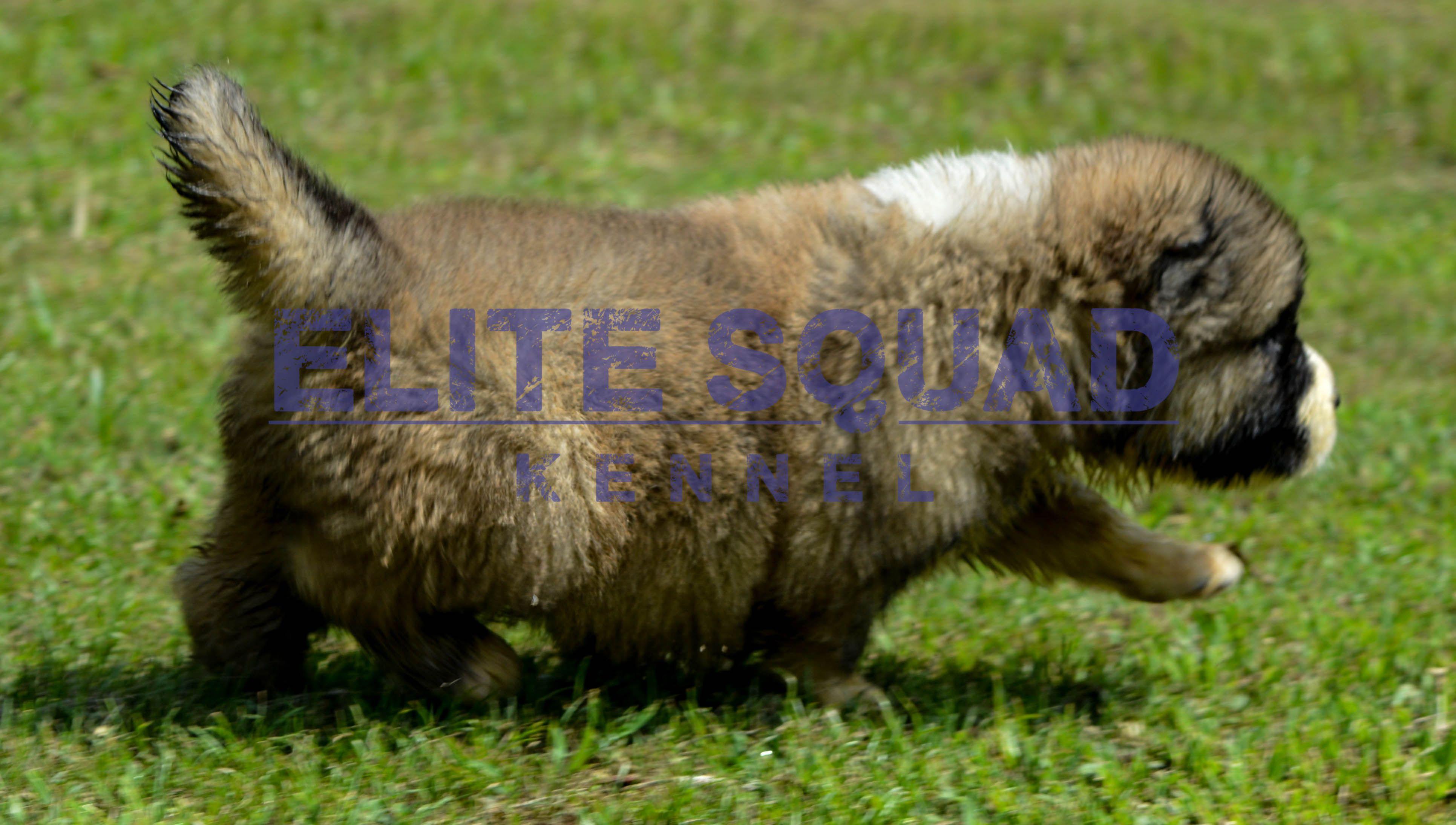 Caucasian shepherd puppies for sale india elite squad