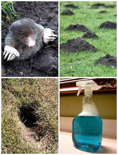 How To Get Rid Of Any Burrowing Animals With This Dawn Soap Solution How To Make The Solution You Are Going To Need Lawn And Garden Garden Pests Moles In Yard