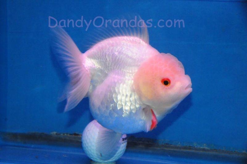 Photo Gallery Dandyorandas Com Goldfish Colorful Fish Fish Pet