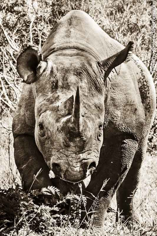 """Black Rhino Charge."" By: Timothy Griesel Photography. www.timothygriesel.co.za (If you would like to buy prints.)"