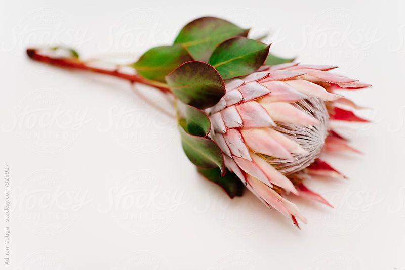 Protea On White Background Protea Flower Protea White Background