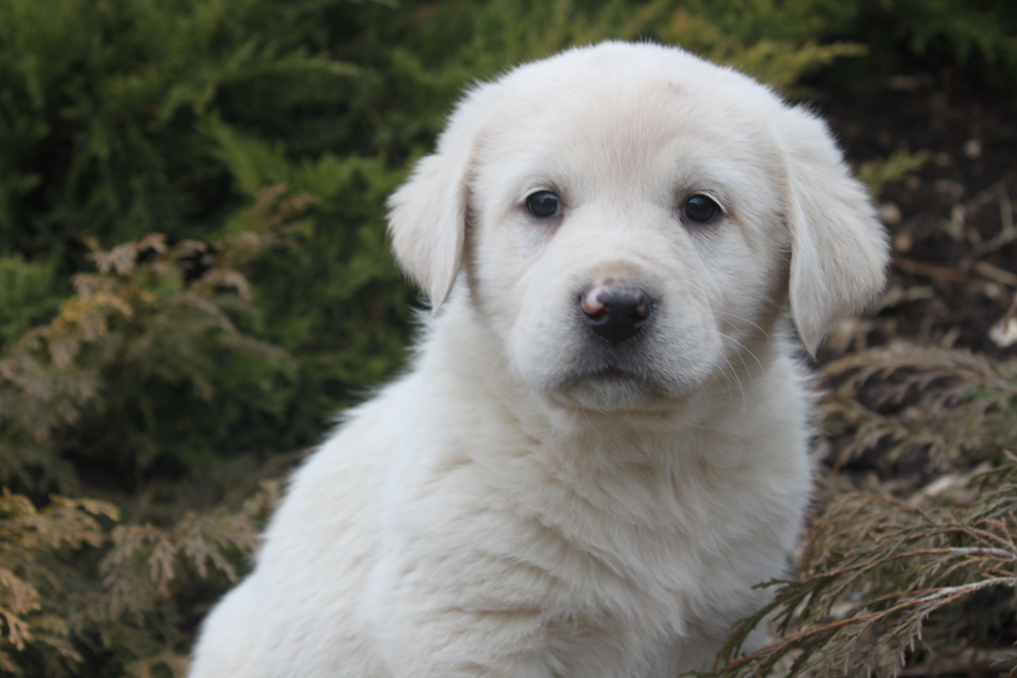 Great Pyrenees Puppies More At Www Onemoredog Com Great