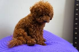 Image Result For Teacup Apricot Maltipoo Full Grown Fluff