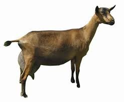 alpine dairy goat - Google Search