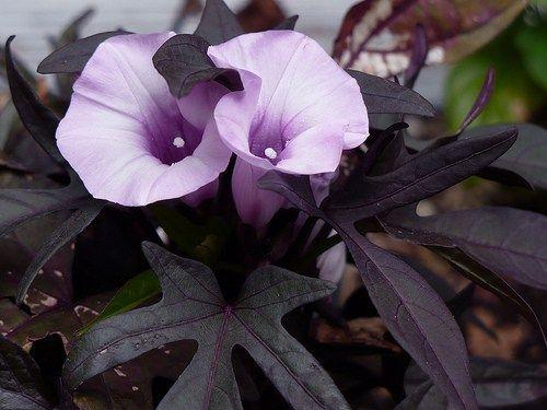 Purple Potato Vine Potato Vines Planting Flowers Dark Purple Flowers