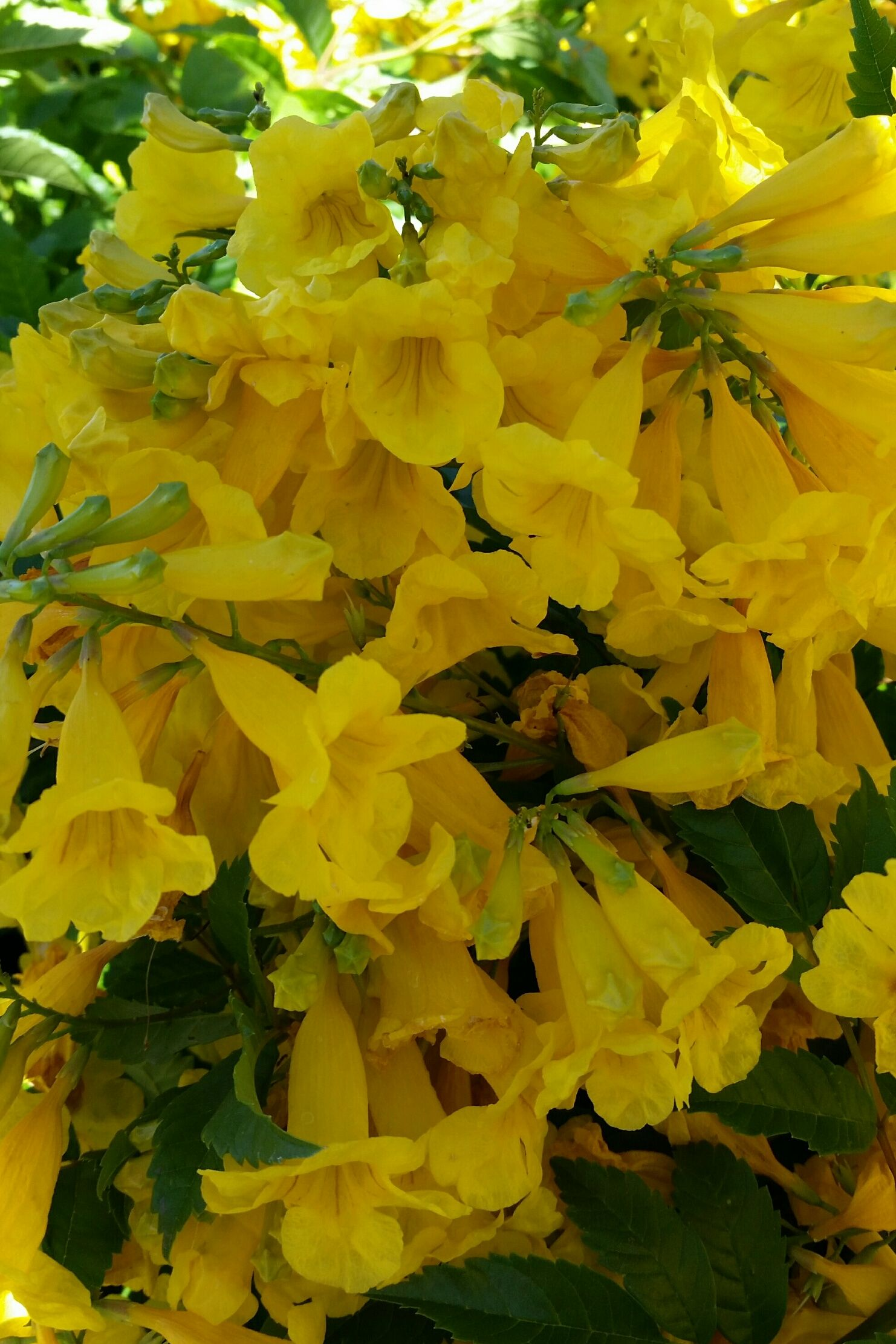 Yellow Bells Tecoma Stans This Spectacular Heat Loving Shrub