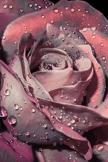 Rose #schöneblumen