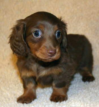 Oh So Coot Dachshund Puppy Miniature Dachshund Love Dachshund Puppies