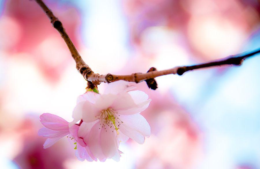 Up close Sakura