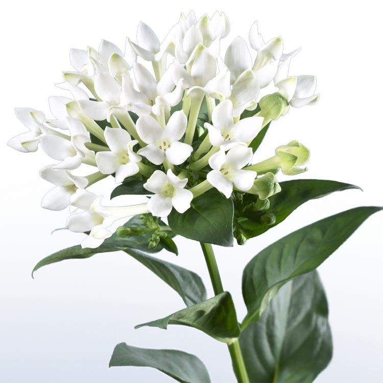 Image Result For White Bouvardia Online Wedding Flowers Wedding Flowers Delivered White Wedding Flowers