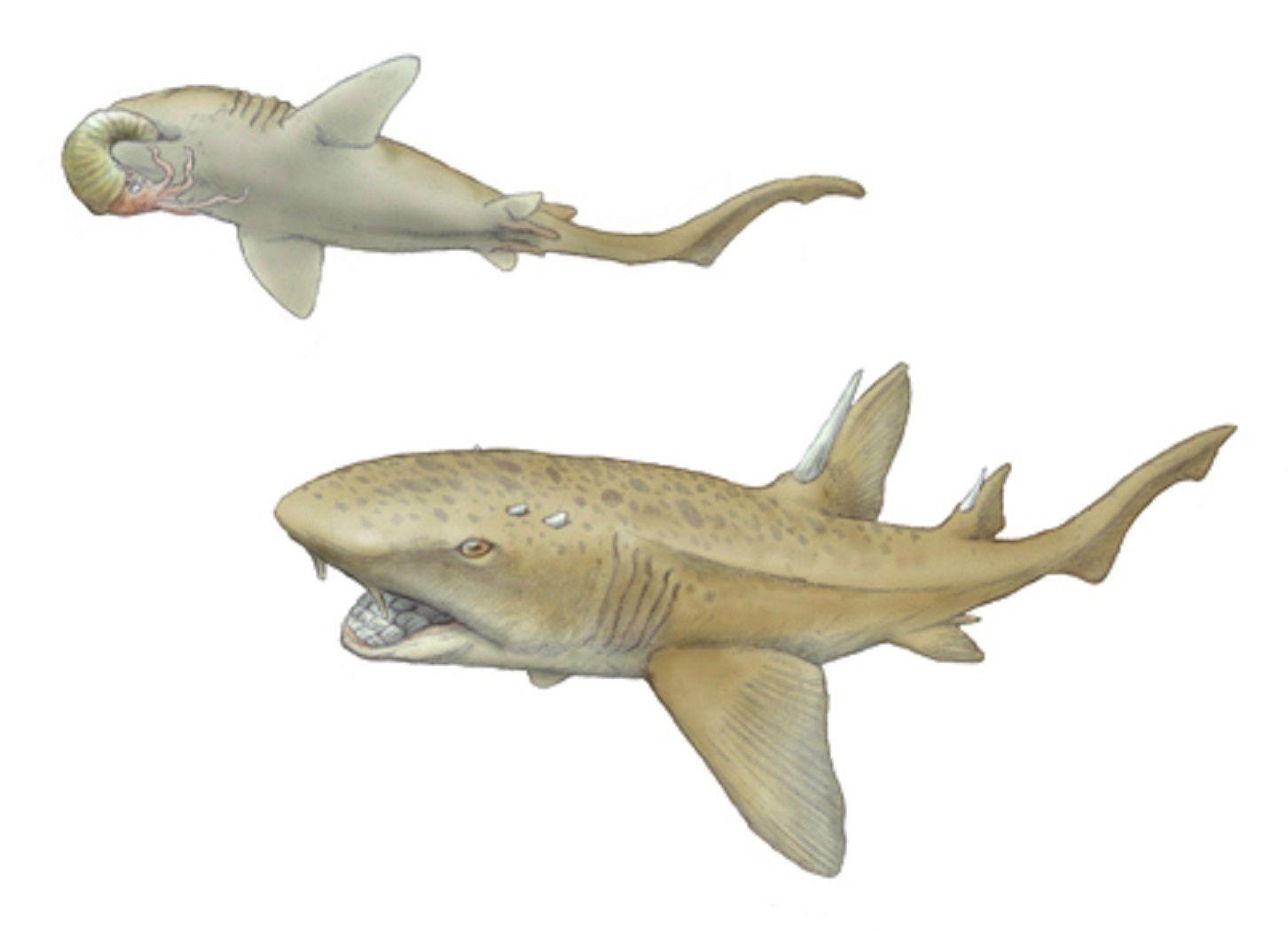 art illustration aquatic animals leptostyrax macrorhiza a art illustration aquatic animals ptychodus is a hybodontiformes extinct genus of shark that