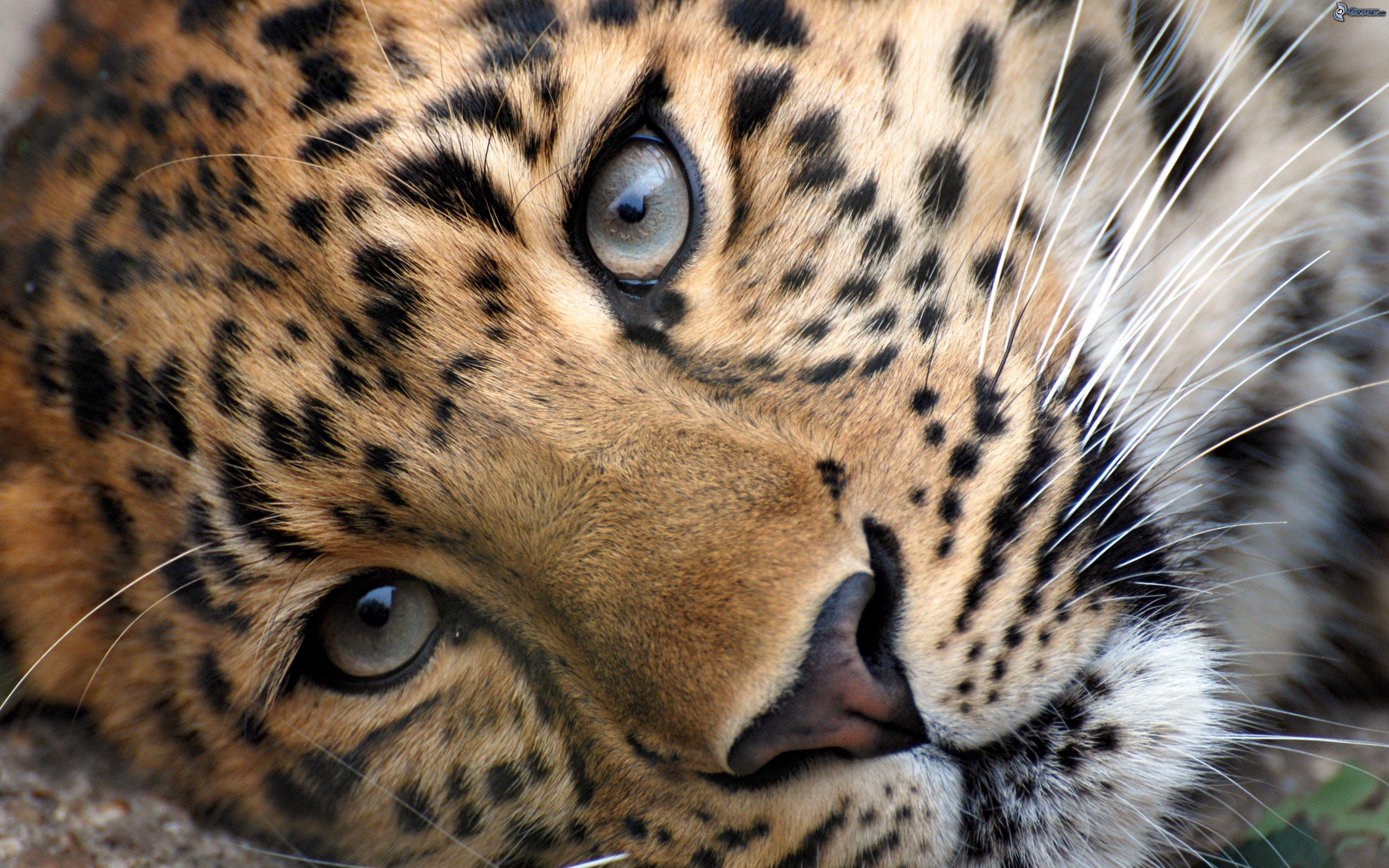 leopardo Wild animal wallpaper, Animals wild, Cheetah