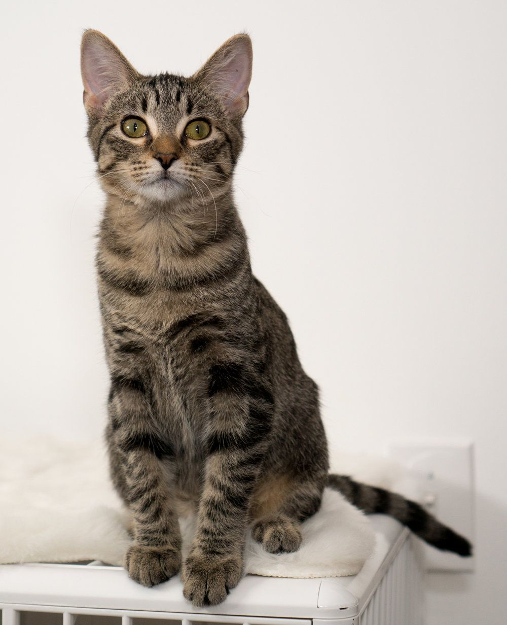 Chestnut Adoptable Kittens From Kitten Academy Kitten Cat Day Cats
