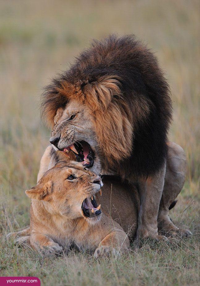 اسد يفترس ضبع 2015 اسد ياكل انسان في العراق Http Www Yoummisr Com Ar D8 A7 D8 B3 D8 Af D9 8a D9 81 D8 Aa D8 B1 D8 B3 Animals Lion Most Beautiful Pictures