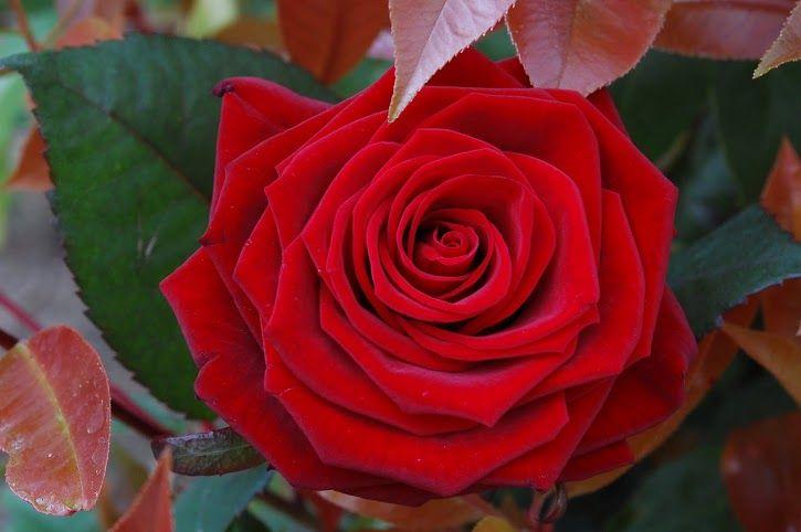 Una perfecta rosa roja by Moni Castro
