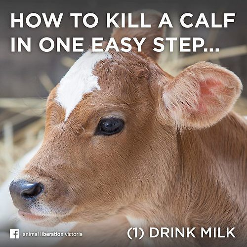 Animal Liberation Victoria: Dairy Milk, That Is. Drink Plant Based Milk Instead! It
