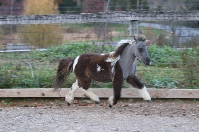 """Looking for something straight foreword and simple? Well here he is! All 30"""" of him! He is a grandson and rightful descendant of driving super star, Rhotens Little Dandy. Offered by Mini Horse Sales"""