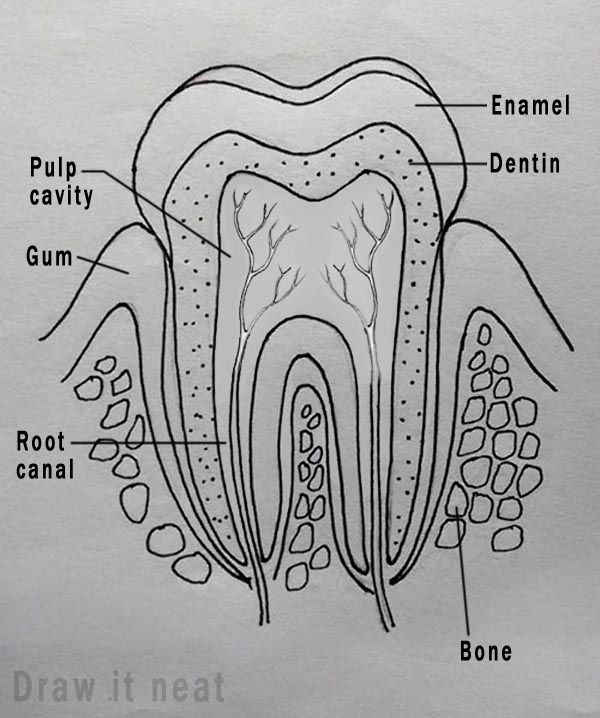 How To Draw Tooth Diagram Labeled