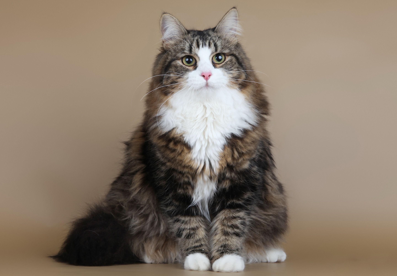 Сибирская кошка - исконно русская порода кошек   Сибирские ...