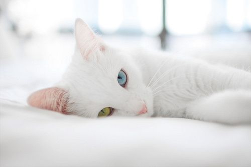 White Cat With Blue And Yellow Eyes That Was My Cat Lady When I