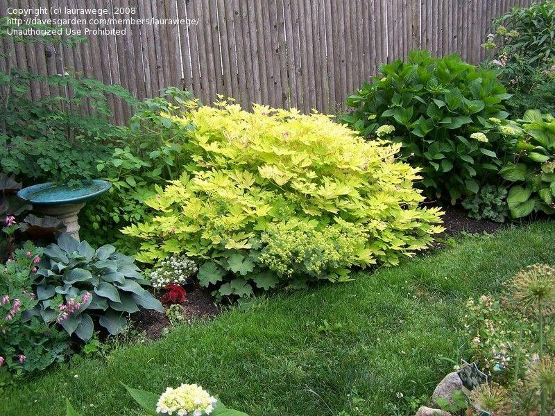 Full Size Picture Of Bleeding Heart Gold Heart Dicentra Spectabilis Shade Plants Bleeding Heart Shade Garden