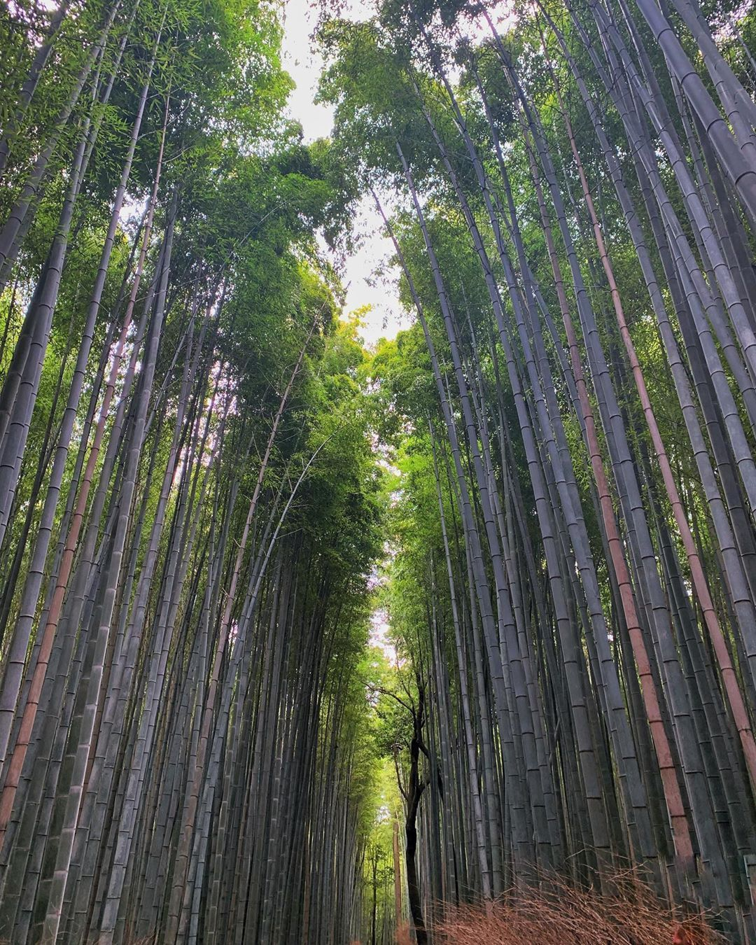 #arashiyamabambooforest #kyoto #arashiyama #arashiyamakyoto #kyototravel #amazingnature #amazingnaturepics #travel #photography #photo #naturephotography #nature_good #wild_nature #nature_worldwide_trees #photographie #japan🇯🇵 #japanesenature #visitjapan #giappone #viaggiare #viaggiaresempre #travelgram #travelphotography #pcoftheday #nature_perfection #japaneseculture %2