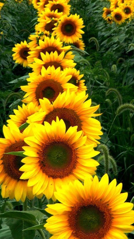 Sunflower Farm Happy Flowers Beautiful Flowers Sunflower