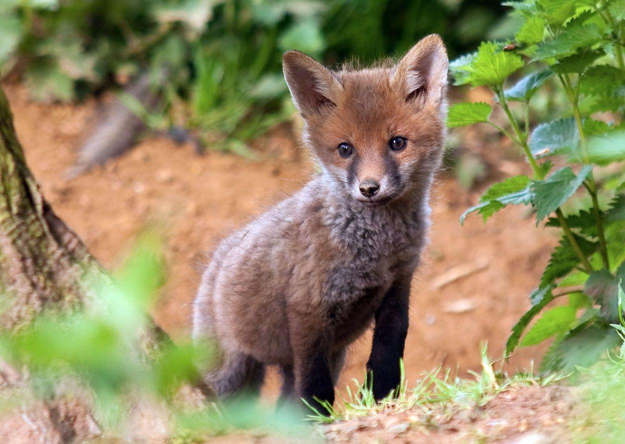 Baby fox Animals, Fox, Animal activism